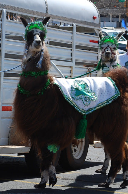 Llamas in the St. Patrick's Day Parade