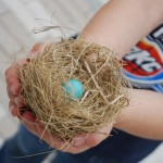 Blue Jay Egg In Nest