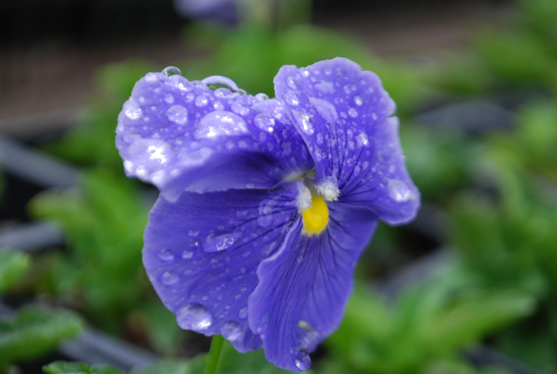 purple pansie