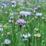Purple Wildflowers Oklahoma