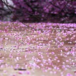 Oklahoma Redbuds and Wisteria Covered in Ice