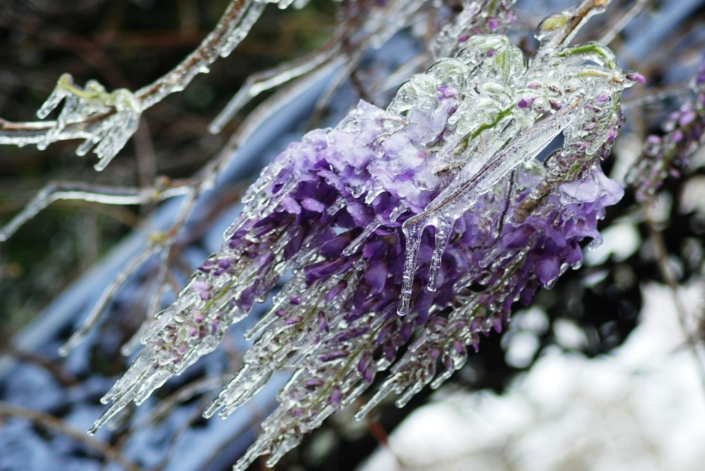 Wisteria Flowers Covered With Ice