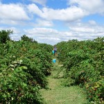 picking blackberries at sunberry orchard, luther oklahoma