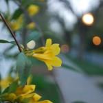 Yellow Jasmine on a Fence at Twilight