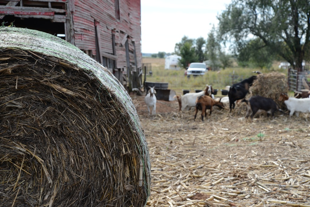 Hay bale and goats