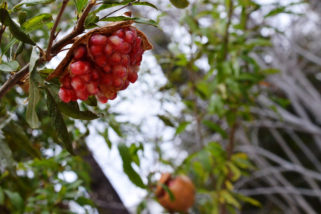 Red Berries of a pomegranate