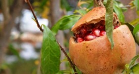 Pomegranate Tree, Wildscapes, Thanksgiving