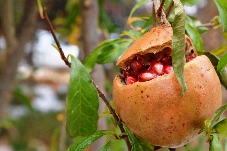 can you grow pomegranates in Oklahoma