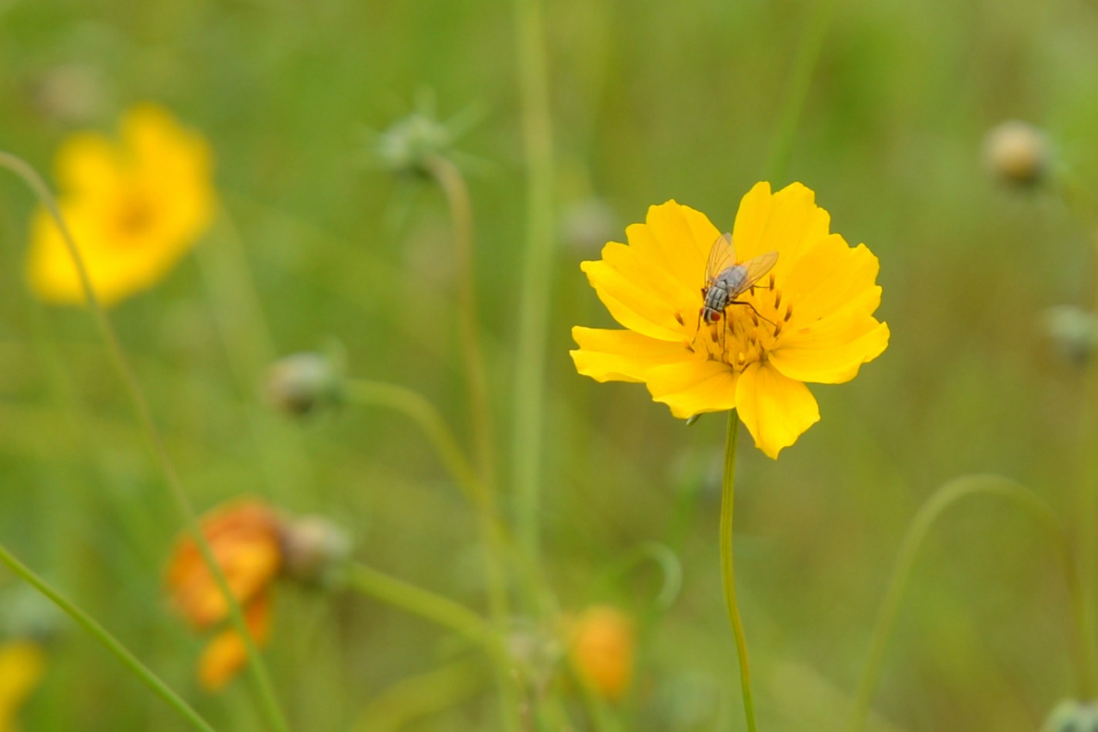 gray Fly on a yellow flower