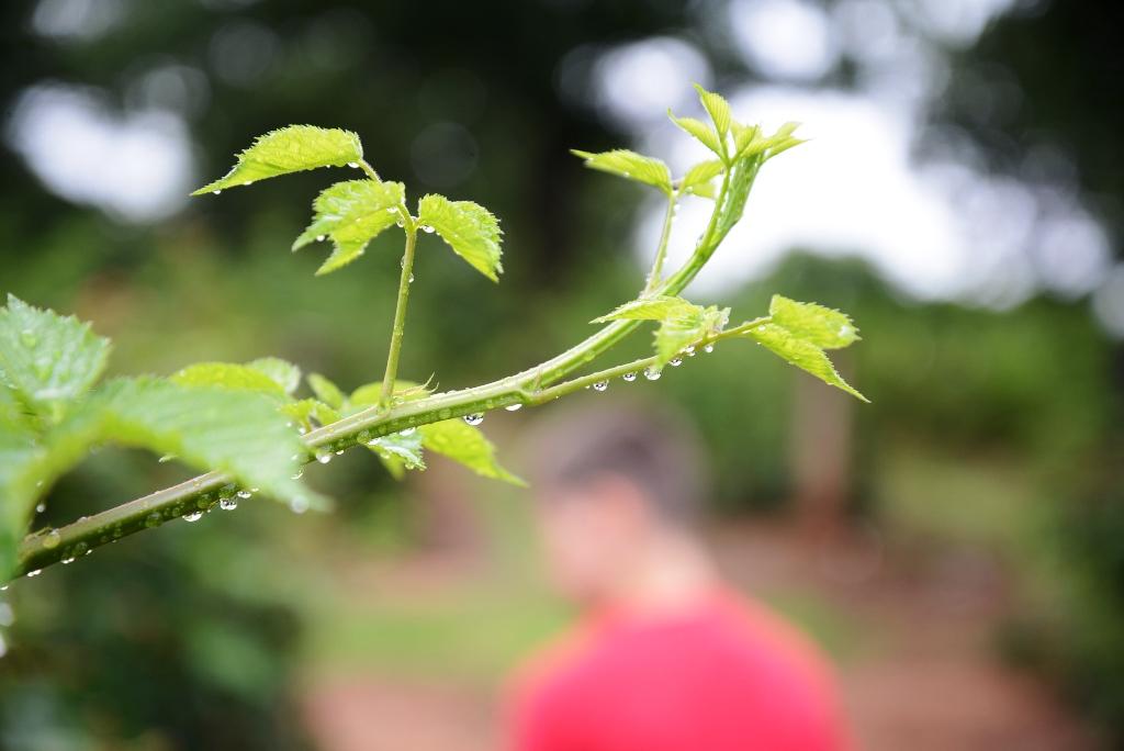 Dew on a blackberry bush