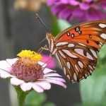 Pied Beauty: September Butterflies