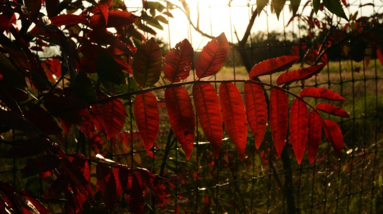 Red Leaves Fall in Logan County