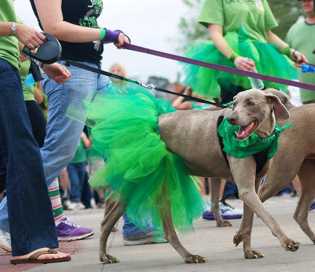 Dog at the St. Patrick's Day parade, OKC