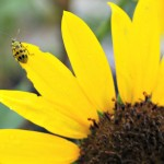 Spotted Yellow Bug on Sunflower